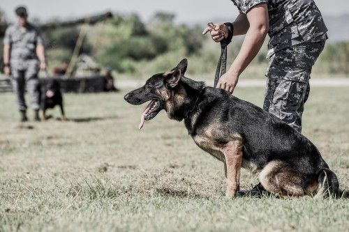 100 Military Dog Names Military Dogs