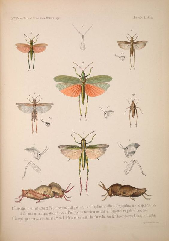 """Naturw. Reise nach Mossambique"" by Wilhelm C. H. Peters, 1852 -. Grasshoppers. via @Smithsonian Institution Libraries"