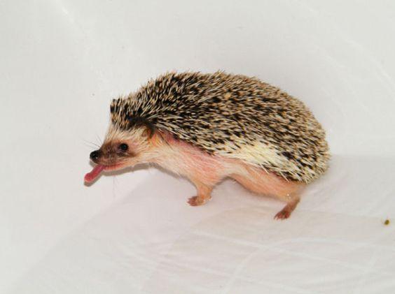 Washing hedgehog: