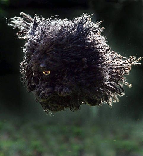 Black Puli Dog-- also comes with dreds