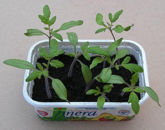 Fantastische tip over de manier om zelf tomatenplantjes te kweken