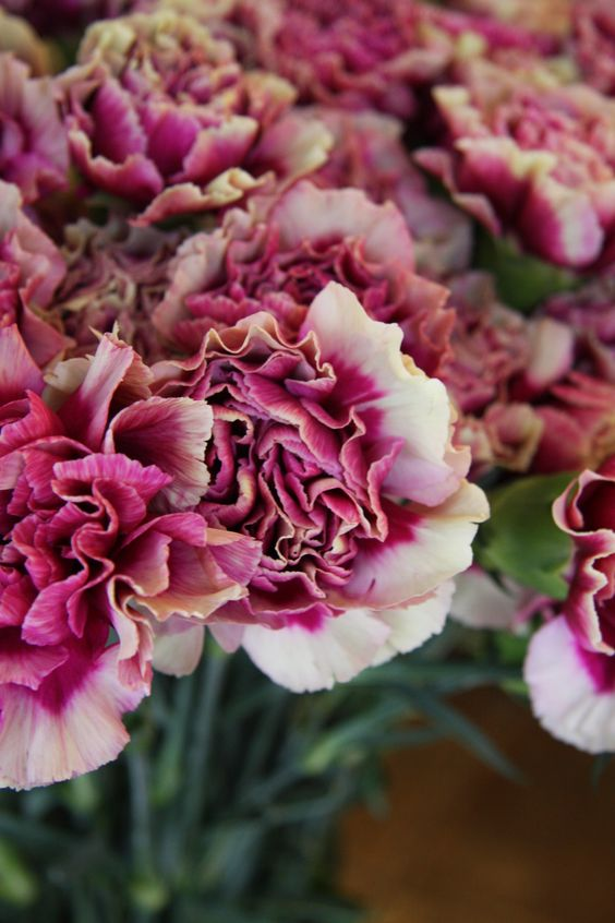 carnation Hurricane