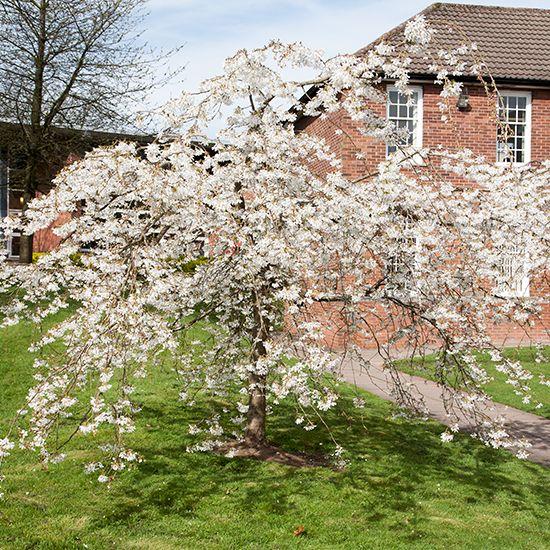 Prunus X Yedoensis Ivensii Weeping Cherry Tree Weeping Cherry Tree Flowering Cherry Tree Cherry Tree