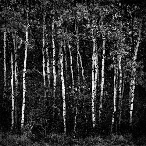 pictures of trees in black and white | Birch Trees in Black and White BW by Matt Anderson Fine Art Landscape ...