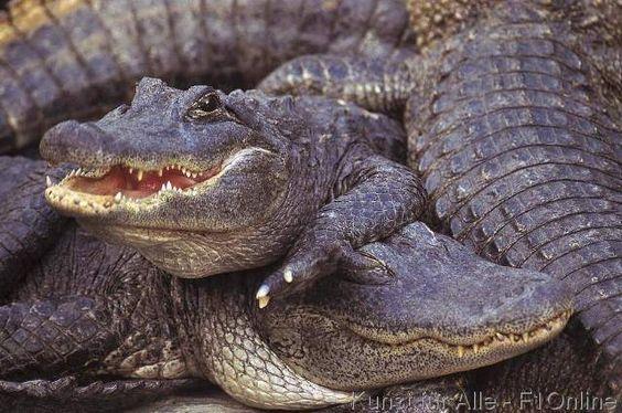 Alligator (Alligator missisipiensis), Krokodil