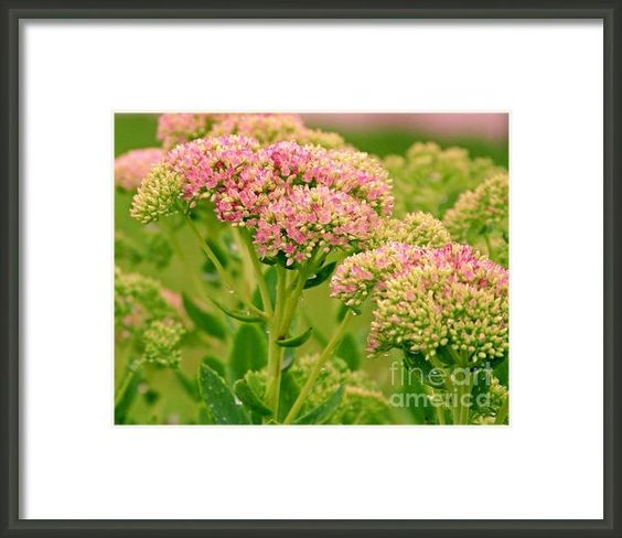 Sedum Autumn Joy Framed Print By Margaret Newcomb #cards #posters #prints #canvasprints #sedum #autumnjoy #flowers #pink