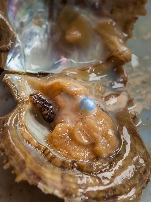 Pearls of Wisdom | Smithsonian Ocean Portal
