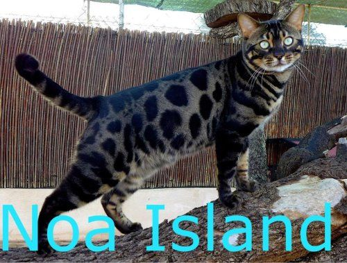 Noa Island Prince Titan Charcoal Brown Black Spotted Tabby