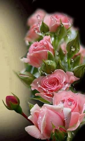 Dew Drops On Pink Roses                                                                                                                                                      More                                                                                                                                                                                 More