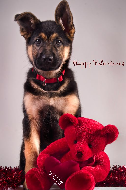 Valentine Dog Puppy Dogs Puppies Happy Valentineu0027s Day German Shepherd |  German Shepherds | Pinterest | German Shepherds, German And Dog