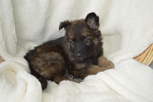 Litter Of 8 German Shepherd Dog Puppies For Sale In Owenton Ky