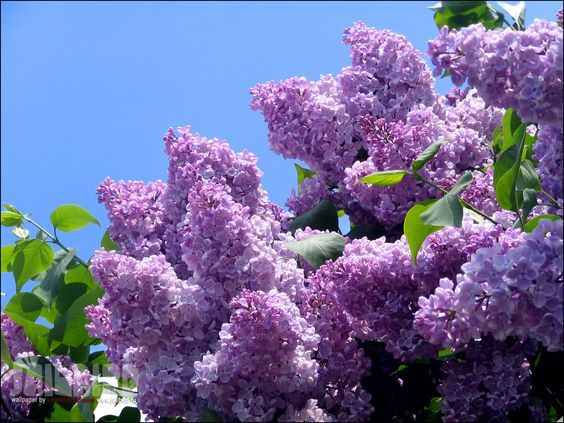 I miss all the lilac trees we had up north....