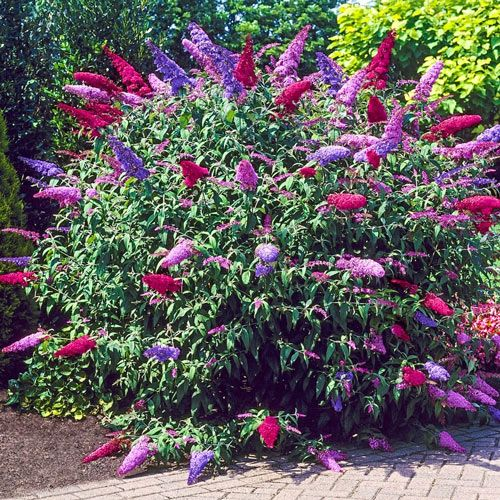 3 In 1 Butterfly Bush Michigan Bulb Company In 2020 Butterfly Bush Plants Garden Shrubs