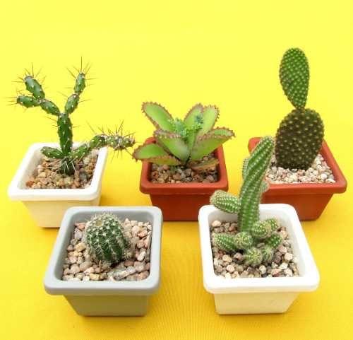 Set De 5 Cactus Crasas En Maceta De Plástico Nº8 De Souvenir