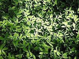 Grama-amendoim – Arachis repens