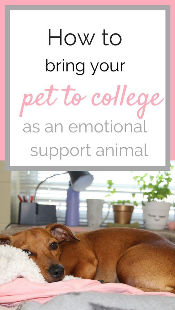How I Brought My Dog To College Emotional Support Animal Dog