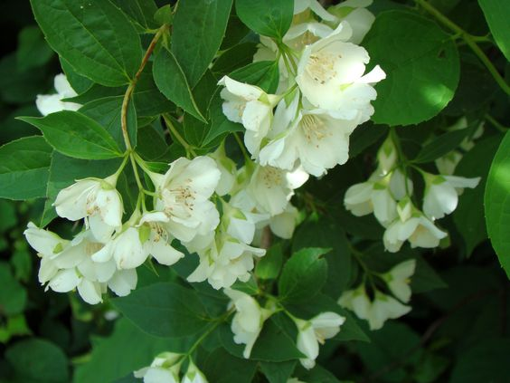 Mock Orange , adds a nice wall of privacy and a very sweet scent to your garden !!!!