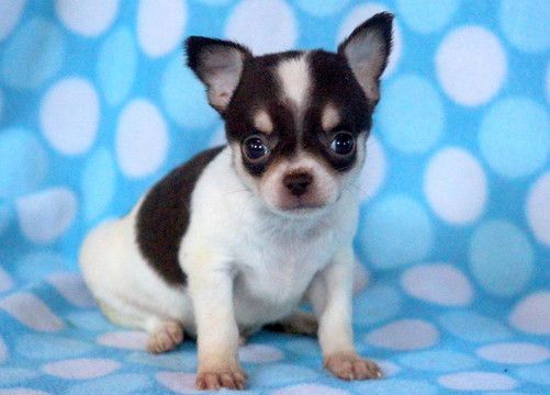 Chihuahua Puppy For Sale In Mount Joy Pa Adn 56574 On