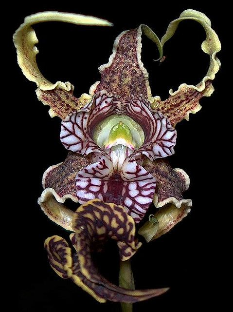 Dendrobium Spectabile: