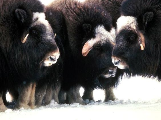 Musk-oxen live in the frozen Arctic and roam the tundra in search of the
