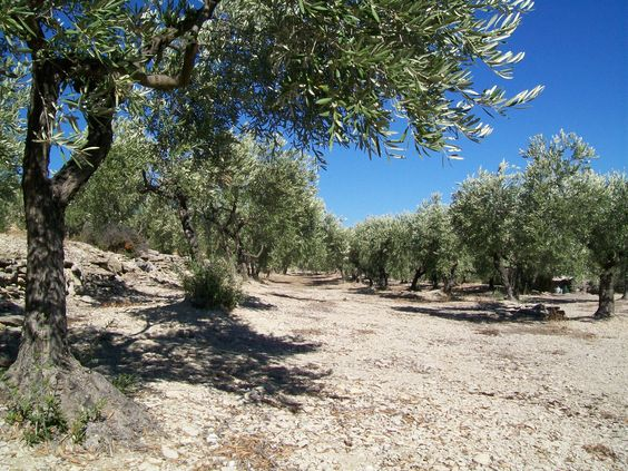 Olive groves of Provence