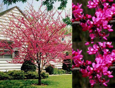Pour unehaie fleurie cercis siliquastrum arbre de for Arbre fleurie pour jardin