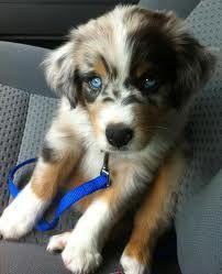 australian shepherd puppies - Google Search
