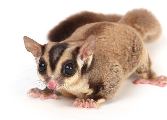 The sugar glider, a marsupial found in Indonesia, now popular as a pet