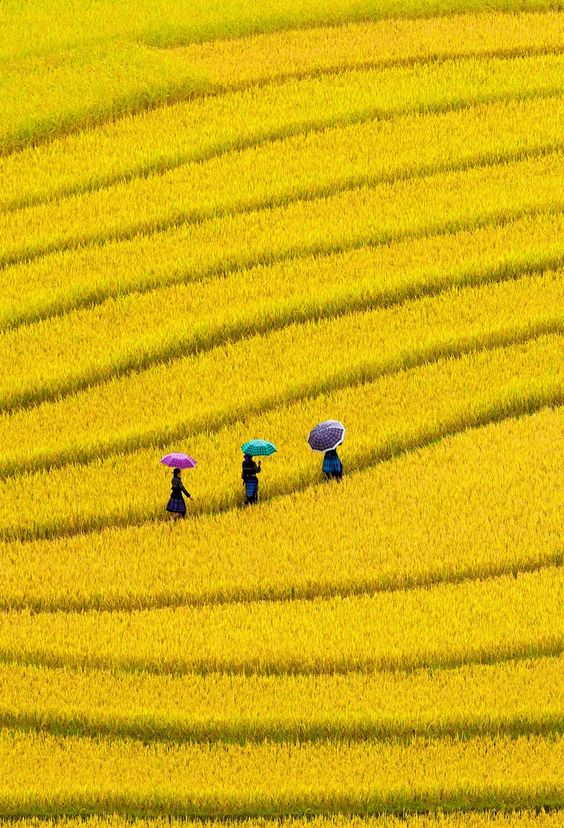 Yellow Field, Vietnam ♥✫✫❤️ *•. ❁.•*❥●♆● ❁ ڿڰۣ❁ La-la-la Bonne vie ♡❃∘✤ ॐ♥⭐▾๑ ♡༺✿ ♡·✳︎·❀‿ ❀♥❃ ~*~ SAT May 14th, 2016 ✨ ✤ॐ ✧⚜✧ ❦♥⭐♢∘❃♦♡❊ ~*~ Have a Nice Day ❊ღ༺ ✿♡♥♫~*~ ♪ ♥❁●♆●✫✫ ஜℓvஜ