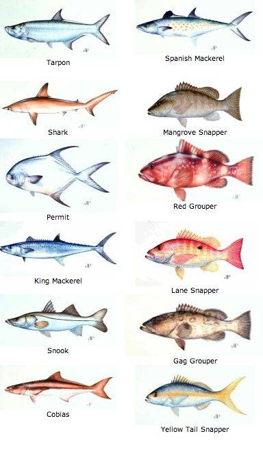 Florida keys charts and the florida keys on pinterest for Fish representative species