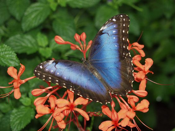 Want a tattoo is modeled after  the Blue Morpho Butterfly