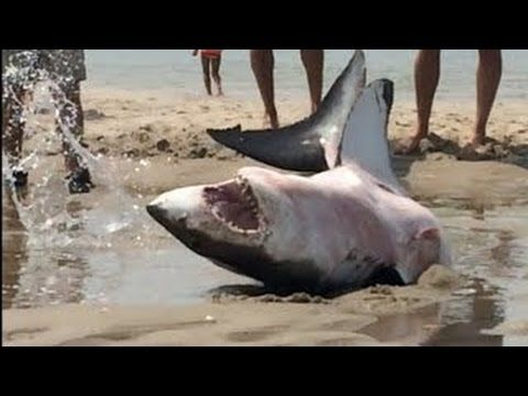 Tubarão Branco Encalha Na Praia   Vídeo Incrivel   FULL HD