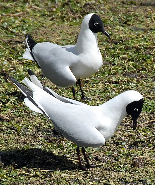 Andean Gull Courtship