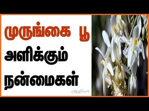 Moringa Flowers Moringa Flowers In Tamil Moringa Flower Benefits ம ர ங க ப Murungai Youtube Moringa Natural Health Tips Moringa Powder