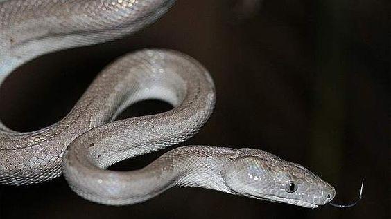 Cómo las serpientes perdieron sus patas