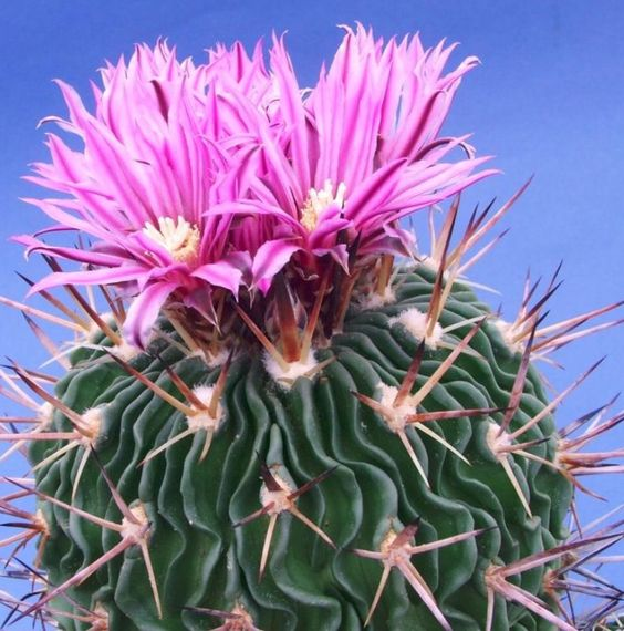 echinofossulocactus phyllacanthus