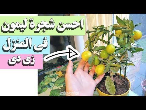 احسن و انجح طريقة لزراعة الليمون فى المنزل و الحصول على ليمون فعلا مش زراعة بس Youtube Garden Fencing House Plants Plants