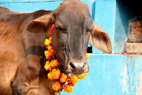 A cow sporting a garland of fresh marigolds.
