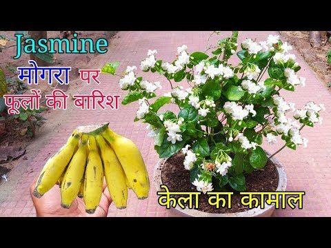 How To Grow Mogra Plant In Pot Grow Jasmine Complete Guide Youtube Plants Jasmine Plant Jasmine Plant Indoor
