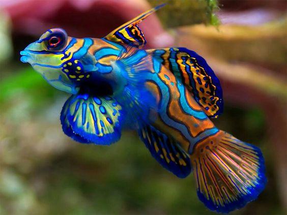 Te presentamos al deslumbrante… ¡pez mandarín! Es uno de los peces más llamativos de cuantos viven en el Océano. No te lo pierdas en el Blog de Aquaservice: http://blog.viva-aquaservice.com/2013/10/03/te-presentamos-al-deslumbrante-pez-mandarin/