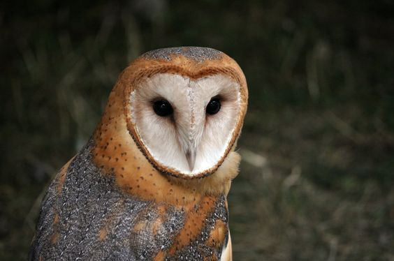 Barn Owl.1. by *HecklingHyena on deviantART