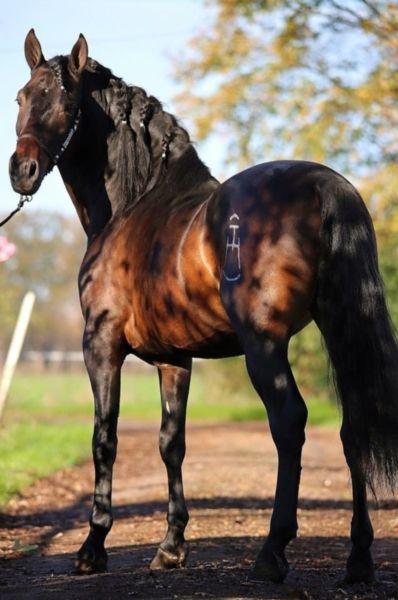 P.R.E. Hengst! http://www.ehorses.de/murgese-hengst-3jahre-164-cm-rappedressurpferd-freizeitpferd-barockpferd-schaupferd-achstetten/1126078.html