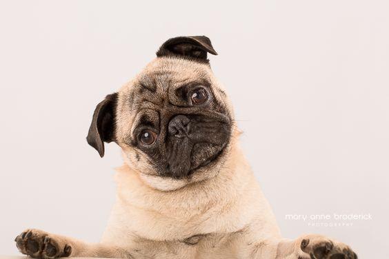 cute-pug-mary-anne-broderick-bud5