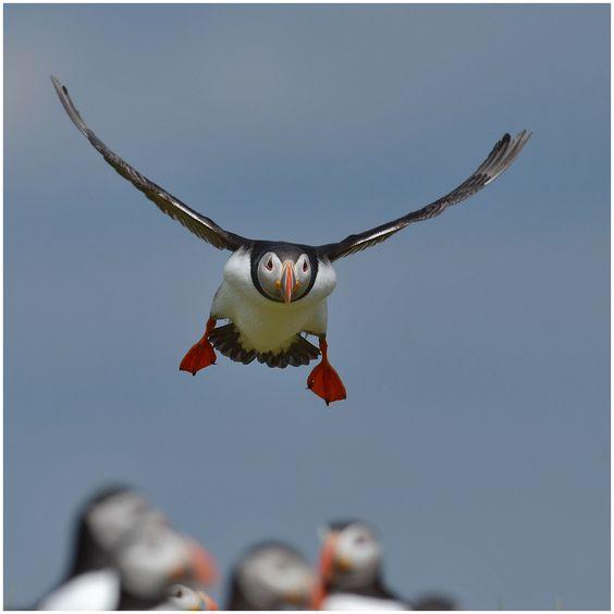 Papageitaucher - frontal - Bild & Foto von Frank-Uwe Andre aus Natur - Fotografie (32450084) | fotocommunity