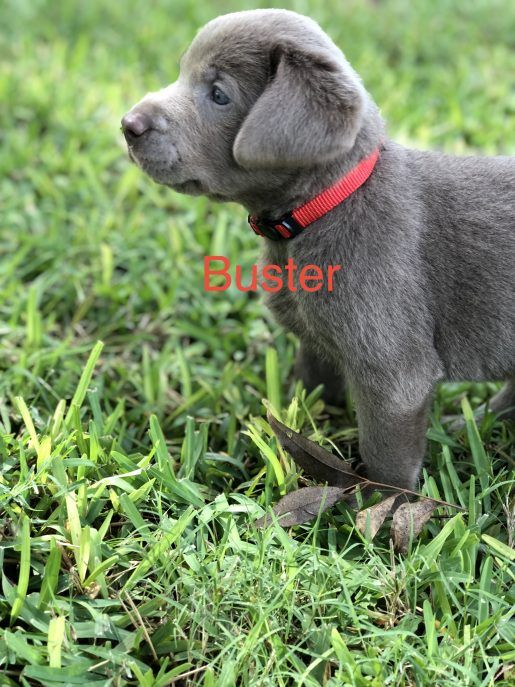 Buster Male English Springer Spaniel Pup In East Palestine Ohio Labrador Retriever Labrador Labrador Facts