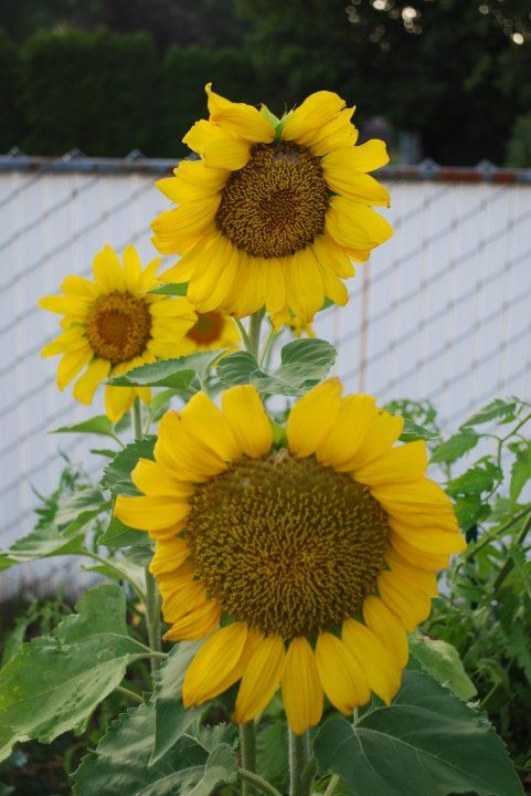 My sunflowers.  Photo by me.