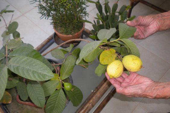 bonsai de goiaba - Pesquisa Google