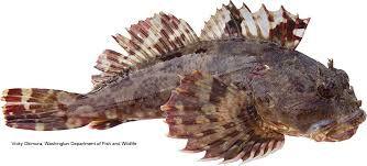 Cabezon Google Search Pet Goldfish Betta Fish Care Types Of Fish