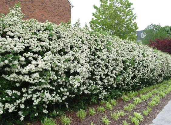 haie fleurie de Pyracantha à fleurs blanches