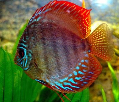 Explore sea life at the state-of-the-art PPG #Aquarium in Pittsburgh, Pa. Visitors will find many of the fascinating animals that live in the water like this beautiful Red Discus!